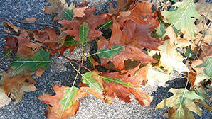 Leaves infected with oak wilt tend to brown from the outside of the leaf towards the stem