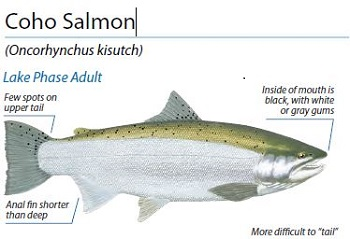 Coho Salmon ID, Illustration by Peter Thompson
