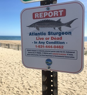 Atlantic sturgeon sign on beach